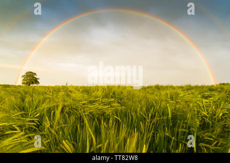 Two rainbows over a cornfield in the UK - Stock Photo