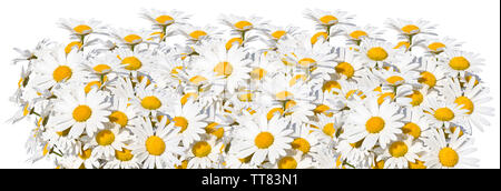 Camomile in row isolated on white background - Stock Photo