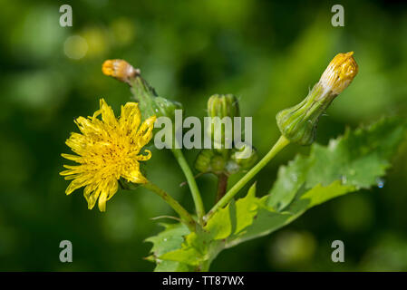 Jack-go-to-bed-at-noon / meadow salsify / showy goat's-beard / meadow goat's-beard (Tragopogon pratensis subsp. pratensis) in flower - Stock Photo
