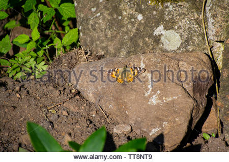 A butterfly, the painted lady (Vanessa cardui), sitting on a stone in a garden. - Stock Photo