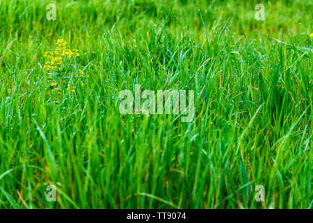 Horizontal close-up shot of small yellow springtime flowers and green grass background with copy space.