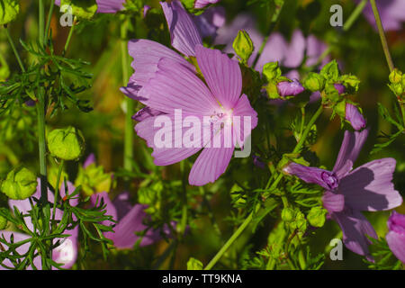 Moschus Malve, blüht in der Natur, auf einer Wiese im Sommer - Stock Photo