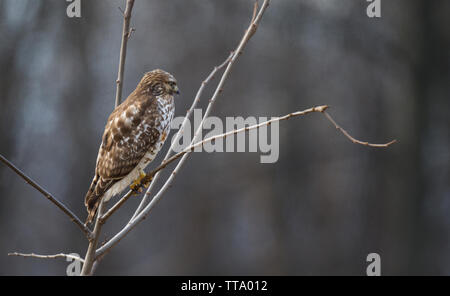 United States; Jan. 2, 2015: A Red-Shouldered Hawk :: Buteo lineatus hunts just of off the Shearman's Mill Trail. This is a 1.0 mile, easy loop trail - Stock Photo