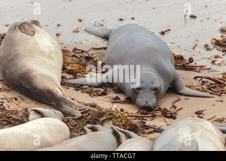 Young Northern elephant seal (Mirounga angustirostris) among other sleeping elephant seals, San Simeon, California, USA - Stock Photo