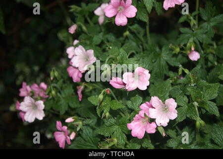 Close up of pink flowers in a garden - Stock Photo