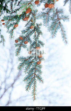 Small cones on the branches of the needles are covered with white snow. Pine with snow decoration for winter season. - Stock Photo