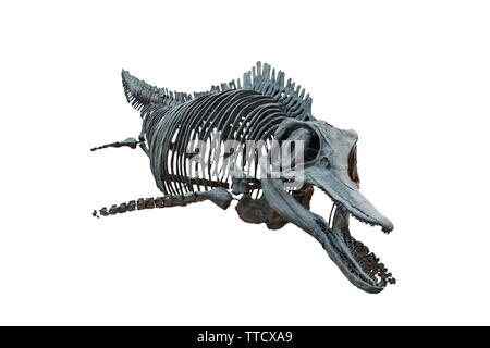 Extincted ichthyosaurus' skull isolated on white background - Stock Photo