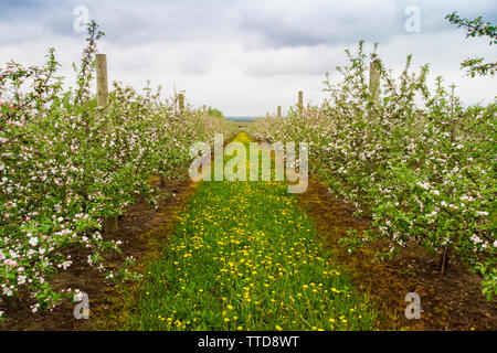 apple tree orchard aerial view - Stock Photo