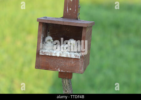 Common Kestrel (Falco tinnunculus) young in nestbox. Photographed in Hortobagy NP, Hungary - Stock Photo