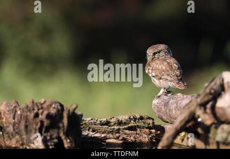 Little Owl (Athene noctua) photographed at Hortobagy NP, Hungary