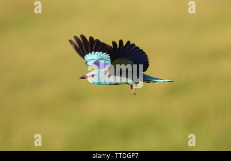 European roller (Coracias garrulus) in flight. Photographed in Hortobagy, Hungary - Stock Photo