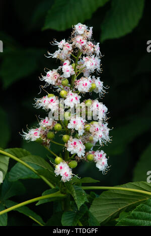 Flower candle of a Horse-chestnut tree (Aesculus hippocastanum) - Stock Photo