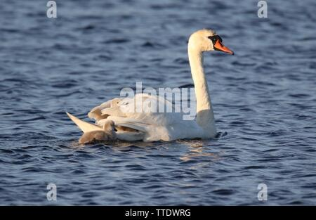 A mother mute swan Cygnus olor carrying tired cygnets on it's back - Stock Photo