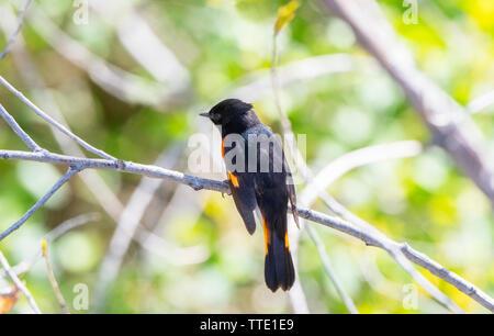 Beautiful Black & Orange Male American Redstart (Setophaga ruticilla) Perched on a Branch in Morning Light - Stock Photo