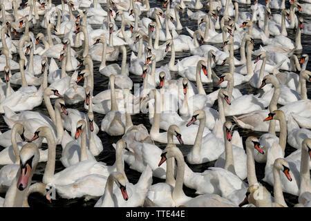 Abbotsbury Swannery, Abbotsbury, Dorset, UK, showing a bevy of wild Mute Swans (Cygnus Olor) numbering many hundreds at feeding time. - Stock Photo