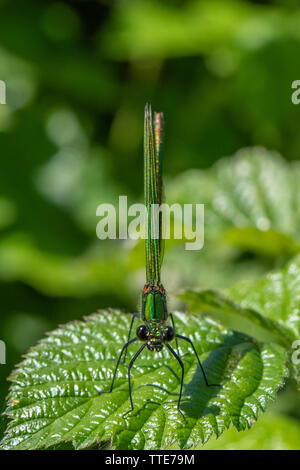 Female Beautiful Demoiselle (Calopteryx virgo) - Stock Photo