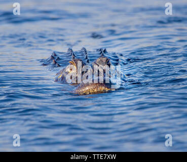 An American Alligator in the Florida Everglades. Alligators are fascinating creatures that have survived in some form or other since the dawn of time. - Stock Photo