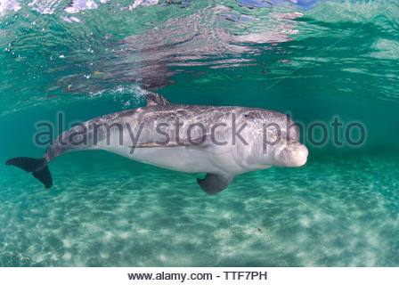 Bottlenose dolphin (Tursiops truncatus), in the lagoon, Roatan island, Bay islands, Honduras - Stock Photo