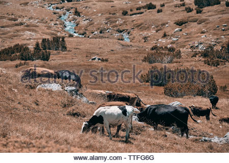 Cows grazing freely in the mountains - Stock Photo