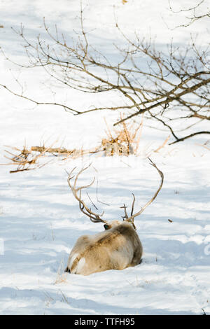 Rear view of a caribou laying in the snow - Stock Photo