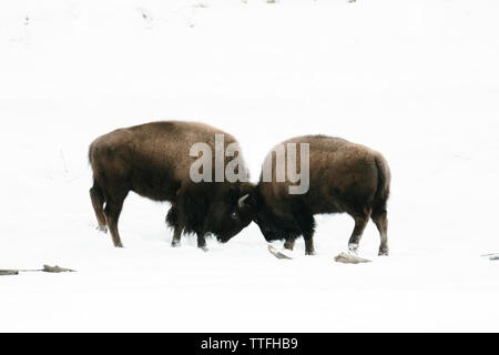 Two bison bulls play fighting in the snow - Stock Photo