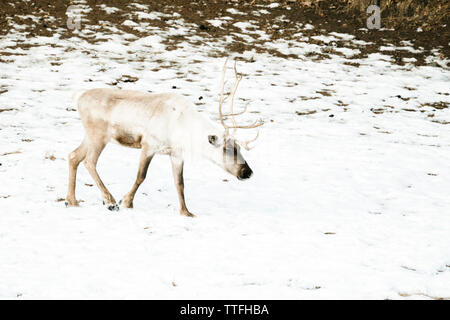 Side view of a caribou walking through the snow - Stock Photo