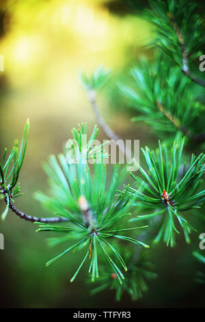 Spruce tree branches detail. - Stock Photo