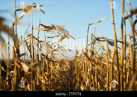 Dried corn stalks in a field at the end of a summer - Stock Photo