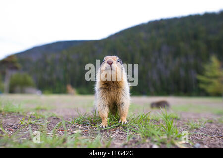 Columbian Ground Squirrel (Urocitellus Columbianus) - Stock Photo