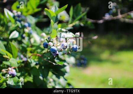 Wild Maine Blueberries on the bush - Stock Photo