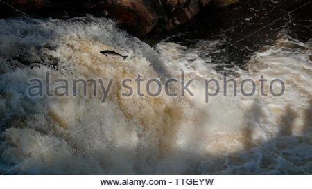 FALLS OF SHIN, SCOTLAND, UK - Wild Atlantic salmon ( Salmo salar ) leap up the Falls of Shin near Inveshin in the Scottish Highlands of Sutherland Sco - Stock Photo