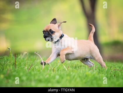 Pug running on grassy field at park - Stock Photo