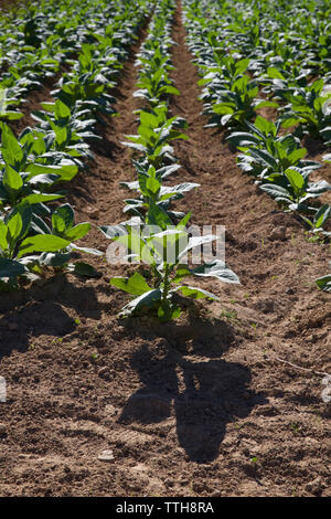 High angle view of tobacco crops growing on field at farm during sunny day - Stock Photo
