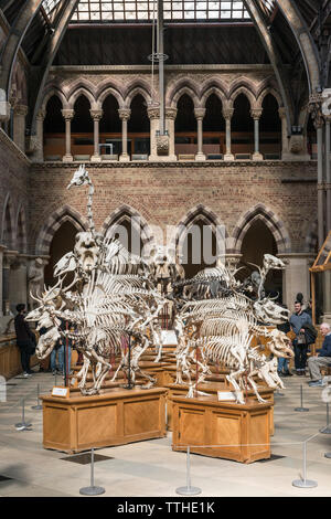 Mammal skeletons on display in the Oxford University Museum of Natural History, founded in 1860. - Stock Photo