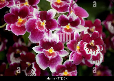 Close-up of magenta orchid flowers - Stock Photo