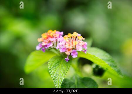 Close-up of lantana camara blooming on plant at park - Stock Photo