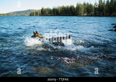 German Shepherd running in lake - Stock Photo