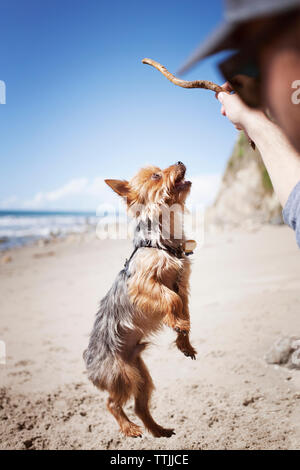 Cropped image of man playing with Yorkshire terrier at beach - Stock Photo