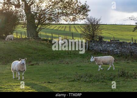 Common sheep (Ovis aries) grazing on farmland at sunset with low light, Embleton, Northumberland, UK - Stock Photo