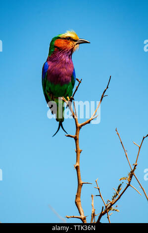 Low angle view of lilac-breasted roller perching on tree branch against clear blue sky - Stock Photo