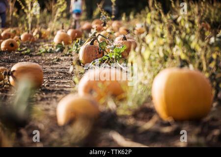 Pumpkins growing on field - Stock Photo