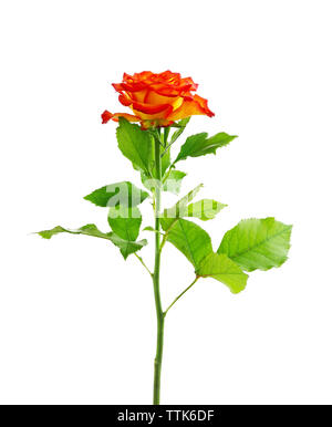 Orange rose, isolated on white - Stock Photo