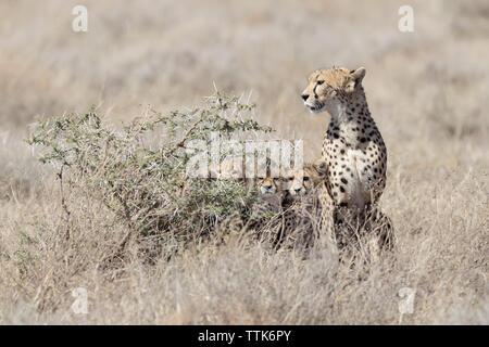 Cheetah (Acinonyx jubatus) family portrait with cubs hiding behind a bush
