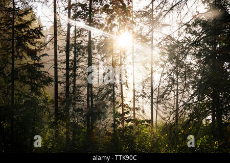 Sunlight streaming through trees in forest - Stock Photo