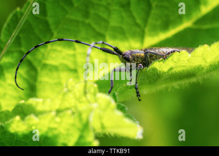 Agapanthia villosoviridescens, Golden-bloomed Grey Longhorn beetle soaking up the sunshine on a leaf, UK - Stock Photo