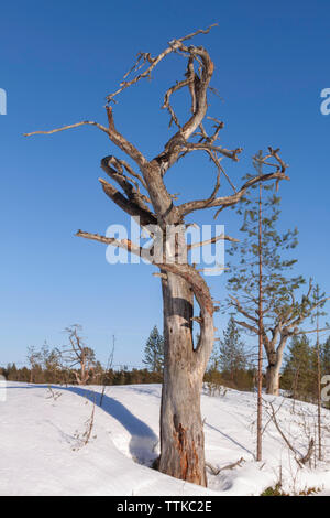 Forest area with dead trees, Hailuoto Island, North Ostrobothnia, Finland - Stock Photo