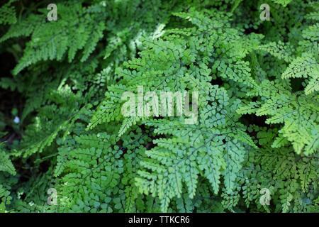 Adiantum venustum - Himalayan Maidenhair fern. - Stock Photo