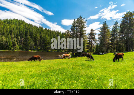 Few cows grazing on pasture by mountain lake at hot summer day - Stock Photo