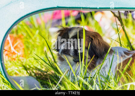 Pekingese dog  is resting in the shadow - Stock Photo