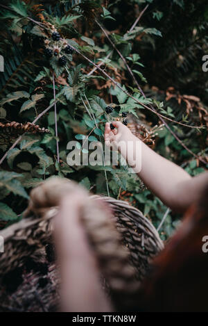 Cropped image of girl picking blackberries from plant at forest - Stock Photo